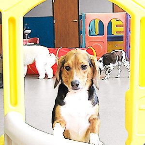 Doggie Daycare Dog In Playroom