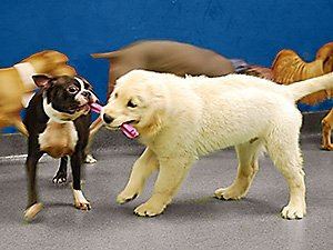 Doggie Daycare Puppies Playing With Toy